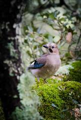Ghiandaia (Bobore Frau) Tags: sardegna wildlife uccelli bosco fotografica caccia nuoro ortobene ghiandaia