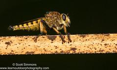 Red-footed Cannibalfly (sjsimmons68) Tags: animals fly fav insectsandspiders redfootedcannibalfly promachusrufipes seminoleco fllocations littlebigeconsf littlebigeconsfjoneseast