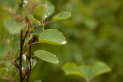 Raindrops on leaves (kate.gardiner) Tags: flowers rain portraits rocks shoreline roadtrips vacations lakesuperior