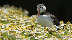 Hey Mr Bee, why are you buzzing around? (KHR Images) Tags: flowers nature fauna island nikon wildlife puffin honeybee fraterculaarctica skomer alcidae auks d7100 bbcwalesnature kevinrobson khrimages