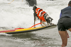 "Surf Dog Competition-CD-080115 (184) • <a style=""font-size:0.8em;"" href=""http://www.flickr.com/photos/25952605@N03/20276598161/"" target=""_blank"">View on Flickr</a>"