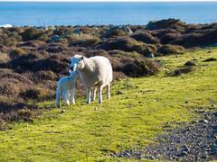 240 - Moutons de Turakirae
