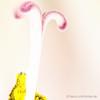 Amaryllis #1 (Natur.Licht.Farben.) Tags: bunt colored color blossom flower policromo farbig flor abigarrado natur blüten licht amaryllis colorful fleur naturlichtfarben farbenfroh schwerin floridezza mulitcolore farben blüte bloom staubblätter floral blumen