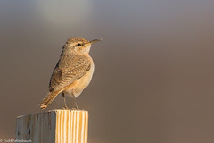 BJ8A4501-Rock Wren (tfells) Tags: rock wren bird nature somerset nj rare new jersey passerine