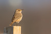BJ8A4501-Rock Wren (tfells) Tags: rock wren bird nature somerset nj rare new jersey passerine