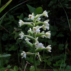 Club-spur Orchid - Platanthera clavellata  -  Orchid : Orchidaceae Family (DaveCzGrLk) Tags: native white orchidfamily orchidaceae wisconsin wisconsinwildflower wildflower julyaugust 2016 orchid jacksoncounty clubspurorchid smallgreenfringedorchid greenwoodlandorchid platantheraclavellata
