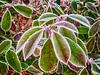 Winter -5- (Jan 1147) Tags: winter natuur nature plant bevroren frozen green groen depinte outdoor buitenopname belgium