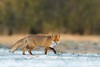 Lis, Fox (Vulpes vulpes) ... 2017r (Rafał Szozda) Tags: redfox nature animals wildlife colors winter nikon d500 nikkor30028vr nowasol lubuskie poland