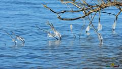 A-LUR_5561 (ornessina) Tags: trasimeno umbria byrd uccelli aironi cormorani toscana va orcia