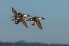 DSC_6364 (craigchaddock) Tags: anasacuta northernpintail sandiegobay sandiegonationalwildliferefugecomplex birdsinflght bif