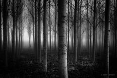 Imprecisión (AvideCai) Tags: avidecai bn blancoynegro bosque arboles paisaje tamron2470 niebla