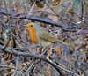 New year Robin (Halliwell_Michael ## Thanks you for your visits #) Tags: brighouse westyorkshire nikond40x 2017 winter cromwellbottom robin birds wildlife