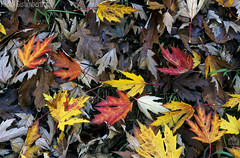 Foglie d'Acero (Acer palmatum), leaves of Japanese maple or smooth Japanese-maple (paolo.gislimberti) Tags: fogliedacerofogliesecche sottobosco undergrowth autumn autunno autumnalcolors coloriautunnali