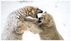 Bear Fight (Bishbosh2011) Tags: polar bears snow wildlife animals bear fighting outdoors