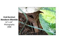 "Newborn Mantids • <a style=""font-size:0.8em;"" href=""https://www.flickr.com/photos/124378531@N04/31641928524/"" target=""_blank"">View on Flickr</a>"