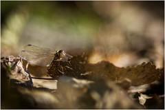 Watching me watching you (Marcel Kramer K5) Tags: marcelkramer fotoclubalkmaar pentax libelle 200mm look
