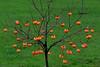 My Persimmon or  Diospyros kaki (Caqui) tree and fruits (natureloving) Tags: persimmon diospyroskaki caqui tree nature fruits natureloving nikon d90 afsvrmicronikkor105mmf28gifed