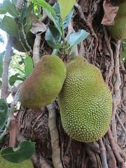 Jackfruit (wallygrom) Tags: asia srilanka ceylon colombotopinnawala jackfruit jakfruit jak artocarpusheterophyllus