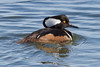 Hoodie (tresed47) Tags: 2015 201502feb 20150224forsythebirds birds canon7d content ducks ebforsythenwr folder hoodedmerganser merganser newjersey peterscamera petersphotos places takenby us
