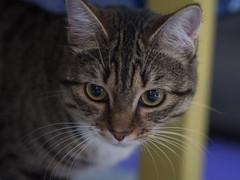 Avignon (lauriepetsitterparis) Tags: chatte chat cat cute mignon miaou petsitter catsitter minou minette chaton chatonne