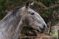 Cheval_0598 (lucbarre) Tags: cheval chevaux équin crinière sabots ranch équitation grison