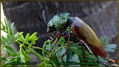 Indian Jewel Beetle (Sternocera basalis) (An_Tarzan) Tags: jewel beetle jewelbeetle indianjewelbeetle sternocerabasalis