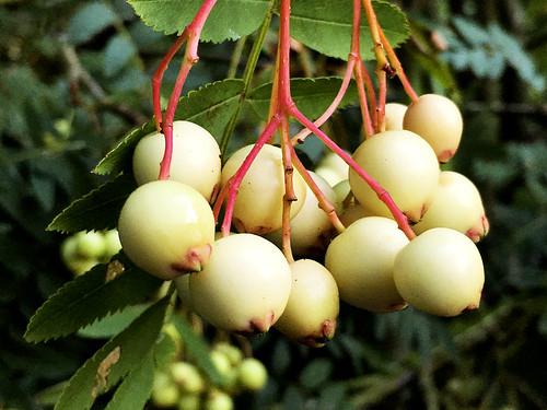 Kasmir Rowan Berries