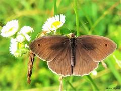 Butterfly 1143 (+450000 views!) Tags: butterfly borboleta farfalla mariposa papillon schmetterling فراشة