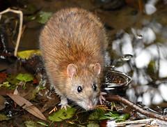 Getting wet feet. (pstone646) Tags: rat rodent river animal wildlife closeup fauna nature ashford kent reflections