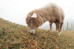 清境農場|合歡山 Hehuanshan (里卡豆) Tags: olympus penf taiwan 台灣 8mmf18 fisheye 清境農場 合歡山 hehuanshan 羊 sheep