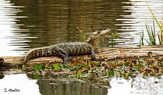 Winter Gator (Suzanham) Tags: americanalligator alligator mississippi noxubeewildliferefuge log sunning wildlife animal nature water reptile swamp lake canonpowershotsx60hs