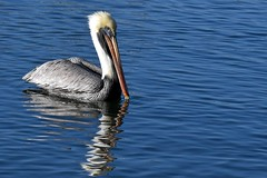 Brown Pelican (bmasdeu) Tags: brown pelican bird floating channel marina tropical water
