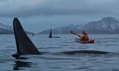 Kayaking with the big orca guys in Kaldfjorden (Snemann) Tags: whales orca norway december troms kayaking seakayaking winter atsea animals joy wow