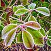 Winter-6- (Jan 1147) Tags: winter frozen bevroren tak leaf blad groen green natuur nature outdoor buitenopname depinte belgium