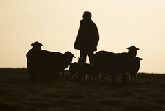 AWN_Wool Industry_Willson_DSC_0049_2_D (renrut01) Tags: awn australian wool network merino snug kangaroo island sheep dudley peninsula dawn silhouette mob coast scenic