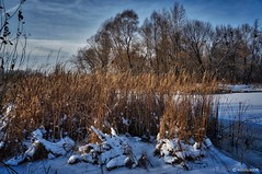 Reed in Winter (smuta2006) Tags: winter river riverfront creek backwater dnieper dnipro riverbank bank beach island snow snowdrift snowfall white flake icebound ice floe frost frozen water nature natural beauty naturalbeauty tree trunk stem bole rind bark grove copse wood woods forest undergrowth plant rush reed cane duckweed bush shrub twig branch sky cloud waterscape landscape scenery kyiv kiev ukraine europe affinityphoto hdr nondslr sony nex nex5r