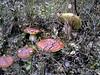 Incontri autunnali (Marco Ottaviani on/off) Tags: italia italy piemonte piedmont valvaraita valmala funghi mushrooms boletus canon marcoottaviani