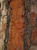 Borke der Kanarischen Kiefer (Pinus canariensis); La Orotava, Teneriffa (105) (Chironius) Tags: spanien teneriffa spain испания españa tenerife borke rinde ladrido écorce corteccia schors кора hout bois holz wood legno madera wald coniferales koniferen pinaceae kieferngewächse pinoideae kiefern pinus kiefer baum bäume tree trees arbre дерево árbol arbres деревья árboles albero árvore ağaç boom träd rot