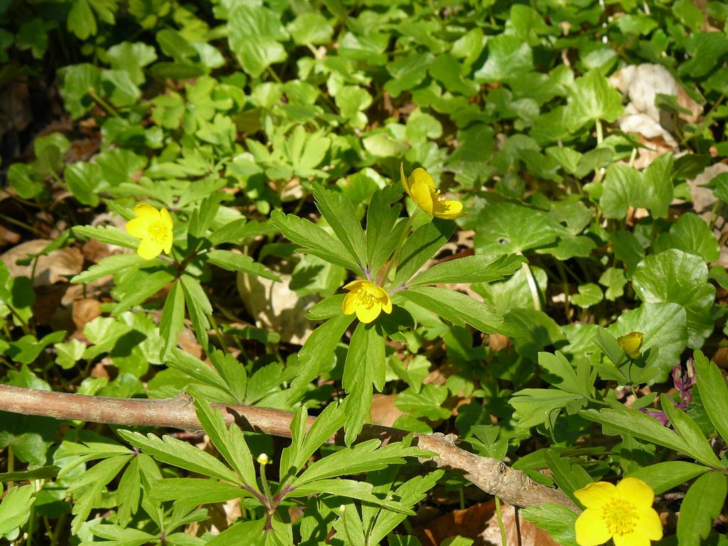 Anemone ranuculoides- Gelbes Buschwindröschen5
