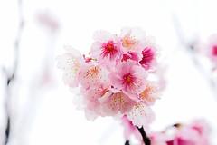 寒櫻 (aelx911) Tags: a7 a7ii a7m2 a7markii sony glens fe90 fe90f28 90mm macro flower nature taiwan taipei plant 平菁街42巷 sky