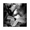 (SamDRajkumar) Tags: blackandwhite blackwhite blackandwhiteportrait monochrome leaves nature natureinblackandwhite nikon nikond5100 d5100
