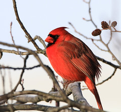 Another grumpy Northern Cardinal (danstambaugh) Tags: wildwood cardinal birder birding birdwatching birdwatcher pa patnc audobon