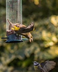 Tit Finch wars (Cagey75) Tags: garden birds february 2017 nature feeders supermctakumar200mmf4 fujixt1