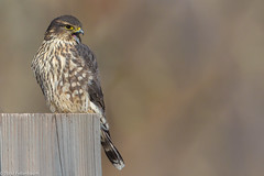 BJ8A8488-Merlin (tfells) Tags: merlin bird nature nj newjersey mercer falcon