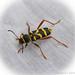 140507-DSC06861 Wood Wasp Beetle Clytus arietis Inkberrow Worcestershire.jpg