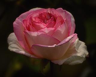 05-31-2015-Pink Rose- (Explored)