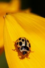 La toilette de Rorschach. (Rmi Vannier) Tags: macro canon insect eos juin brest 7d ladybug coccinelle 2015 coleoptere marienkafer giuscescu