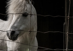 Shadow  HFF (montrealmaggie) Tags: shadow horse white fence country pony 14140