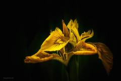Pietzmoor - Iris - Schwertlilie (Pana53) Tags: iris nikon pflanzen struktur moore gelb moor blüte zeichnung schwertlilie pietzmoor lichtschatten farbgebung schwarzerhintergrund schneverdingen nikond810 iridoideae pana53 nikond5200 photographedbypana53