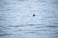 20150622-_DSC3120 (Fomal Haut) Tags: ocean sun norway suomi finland helsinki kingdom arctic trail    suntrail  birdsafari gjesvaerstappan